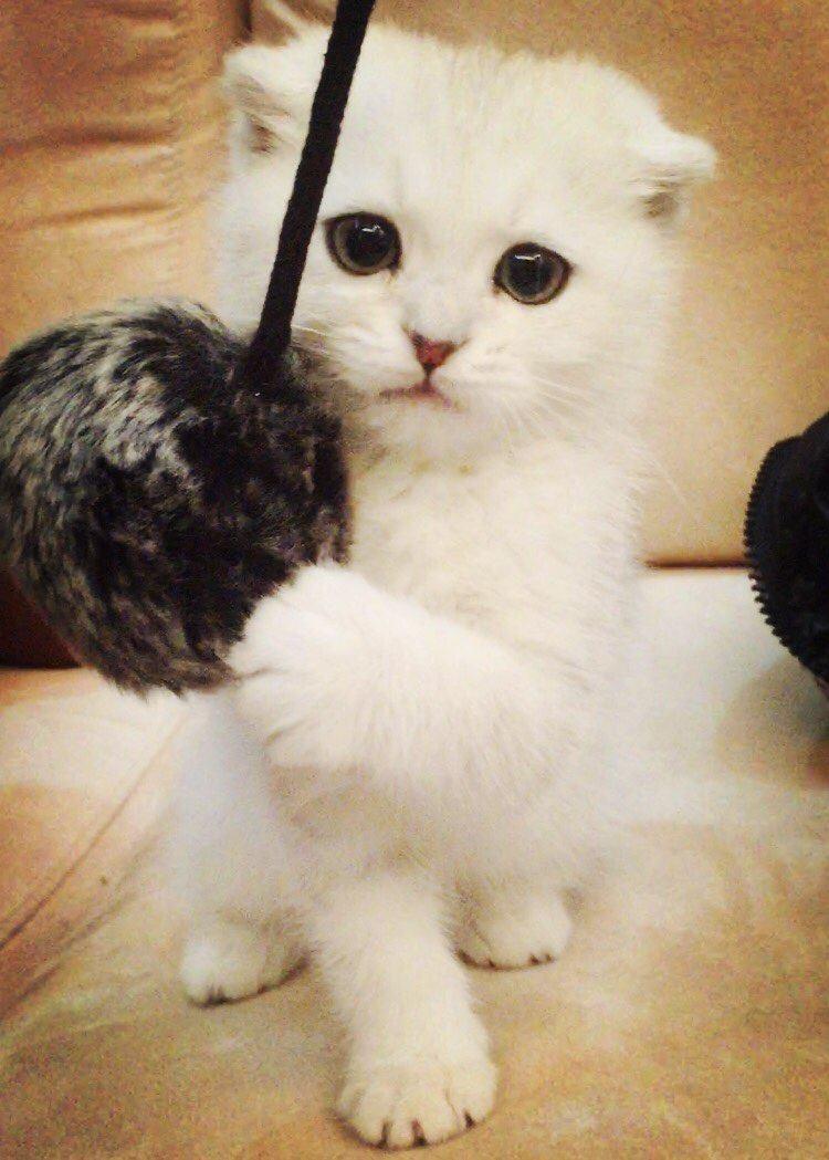 英国短毛猫小可爱的故事图片