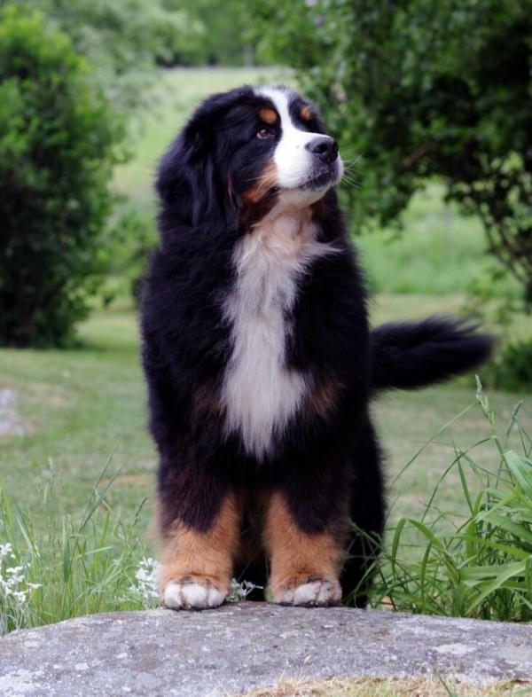 崽子它爸太帅了 - 伯恩山犬Caddy的图片 - 骨头