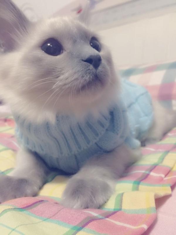我和哥哥买进了兄长弟装,斑斓不哇咔咔 - 暹罗猫小
